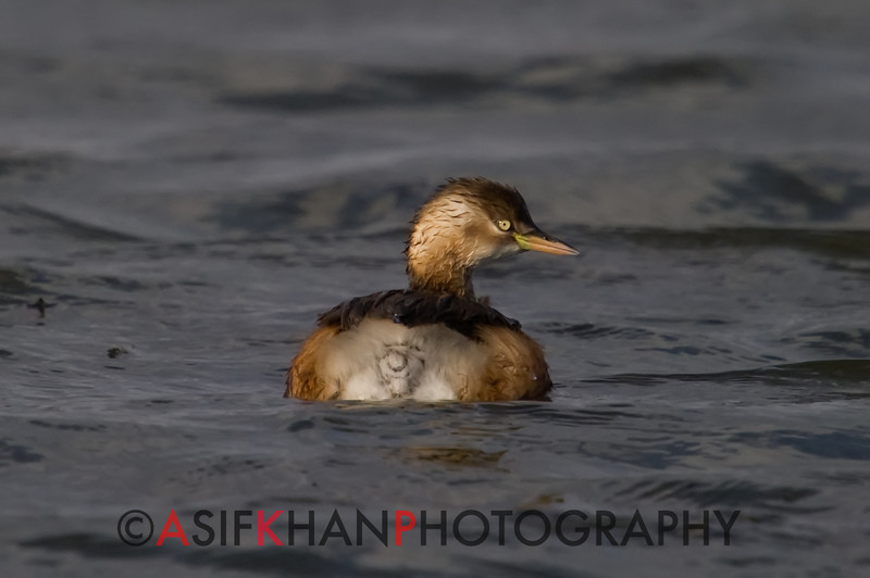 Little Grebe (Tachybaptus ruficollis) [小䴙䴘 xiǎo pìtī, 'small grebe'] in non-breeding plumage at Nanhui, Shanghai, China