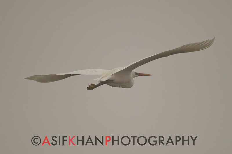 Chinese Egret or Swinhoe's (Egretta eulophotes) [黄嘴白鹭 huáng-zuǐ bái-lù, 'yellow billed white heron'] near Happy Island, Hebei, China