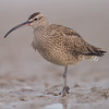 Whimbrel (Numenius phaeopus) [中杓鹬 zhōng sháo-yù, 'medium spoon yu'] at Beidaihe, Hebei, China