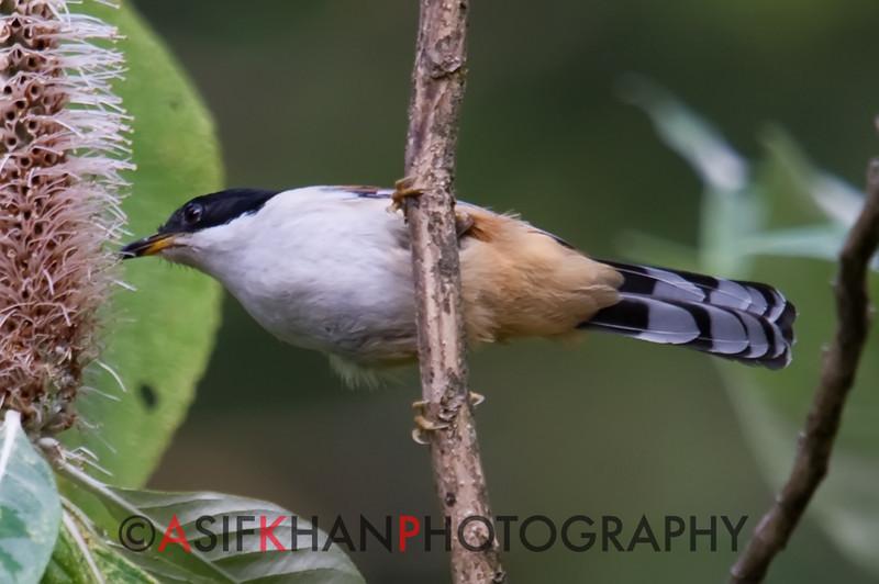 Rufous-Backed Sibia (Heterophasia annectens) [栗背奇鹛 lì-bèi qí-méi, 'chestnut-backed rare babbler'] at Nanjingli Ridge, Ruili, Yunnan, China