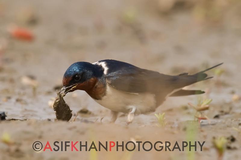 Barn Swallow (Hirundo Rustica) [洋燕 yáng yàn, 'ocean swallow'] at Happy Island, Hebei, China