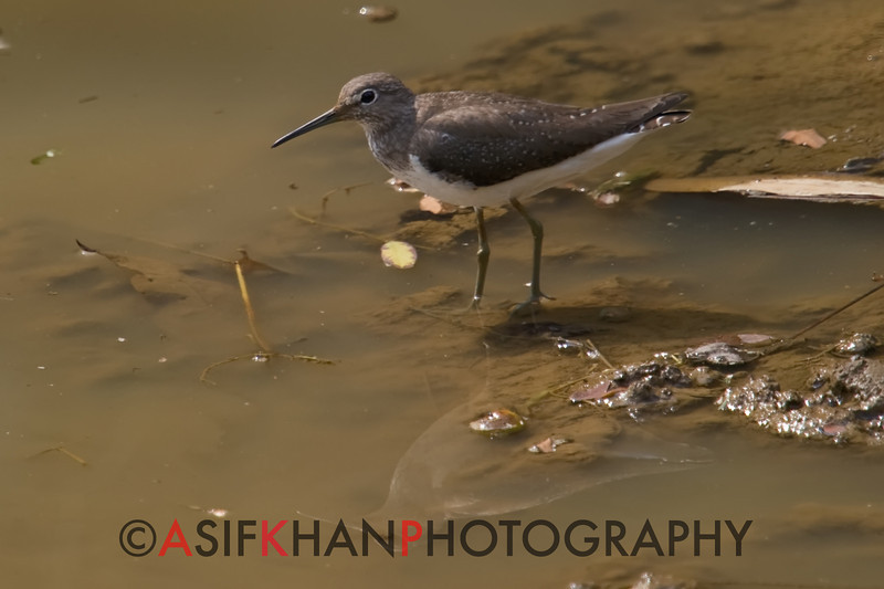 Green Sandpiper (Tringa ochropus) [白腰草鹬 bái-yāo cǎo yù, 'white-rumped grass yu'] at Sheng Tai Yuan, Ruili, Yunnan, China