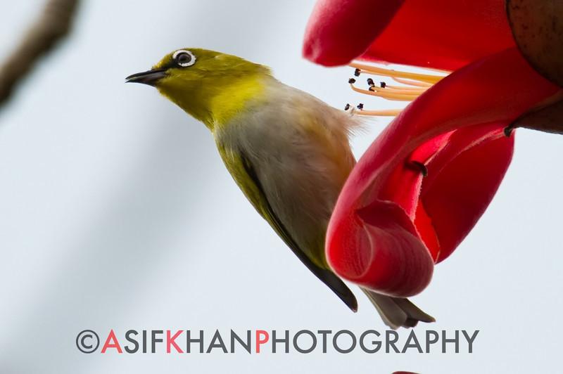 Oriental White-Eye (Zosterops palpebrosus) [灰腹绣眼鸟 huī-fù xiù-yǎn-niǎo, 'grey-bellied embroidered eye bird'] at Sheng Tai Yuan, Ruili, Yunnan, China