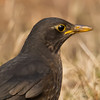 Eurasian Blackbird (Turdus merula) [乌鸫 wū-dōng, 'black thrush'] at Poyang Wetland, Wucheng, Jiangxi, China