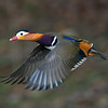 Mandarin Duck (Aix galericulata) [鸳鸯 yuān-yang, 'yuan-yang'] in flight at Yuanyang Lake ( Datangwu Resorvior), Wuyuan, China.