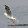 Black-headed Gull (Larus ridibundus) [红嘴鸥 hóng-zuǐ ōu, 'red-billed gull'] at Xinyanggang / Yancheng, Jiangsu, China