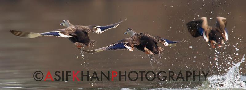 Spot-billed duck (Anas poecilorhyncha) [斑嘴鸭 bān-zuǐ yā, 'spot-billed duck'] taking off at Yuanyang Lake ( Datangwu Resorvior), Wuyuan, China.