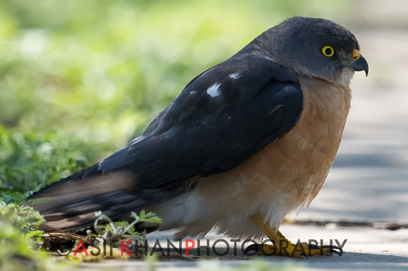 Chinese Sparrowhawk (Accipiter soloensis) [赤腹鹰 chì-fù yīng, 'red-bellied hawk'] at Happy Island, Hebei, China