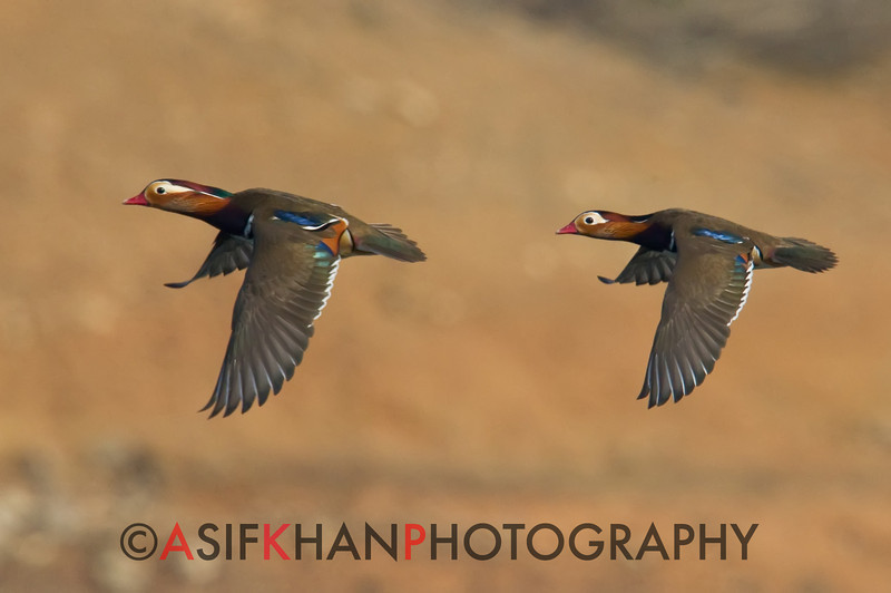 Mandarin Ducks (Aix galericulata) [鸳鸯 yuān-yang, 'yuan-yang'] in flight at Yuanyang Lake ( Datangwu Resorvior), Wuyuan, China.