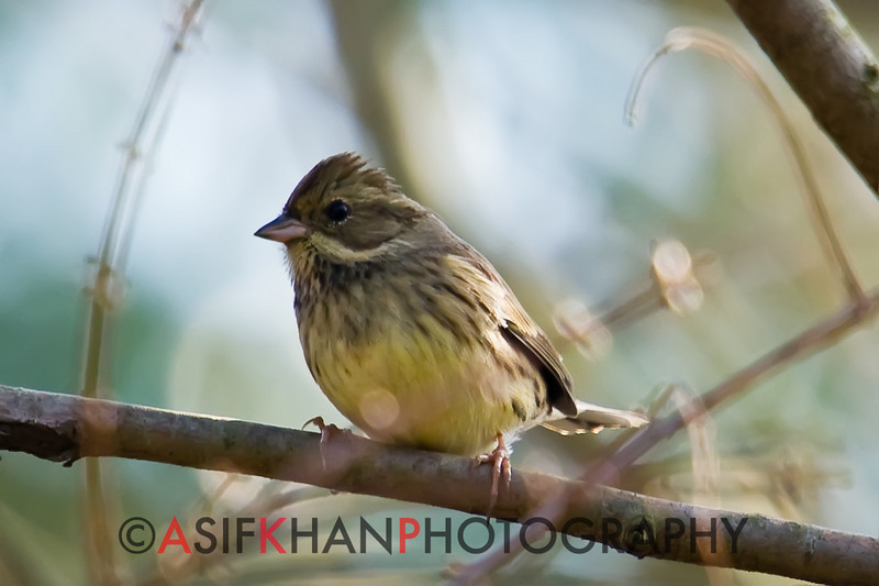 Black Faced Bunting (Emberiza spodocephala) [灰头鹀 huī-tóu wú, 'grey-headed bunting'] at Yuanyang Lake ( Datangwu Resorvior), Wuyuan, China.