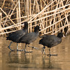 Common Coot (Fulica atra) [骨顶鸡 gǔ-dǐng jī, 'bone top fowl'] walking on ice at Xinyanggang / Yancheng, Jiangsu, China.