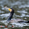 Great Cormorant (Phalacrocorax carbo) [普通鸬鹚 pǔtōng lúcí, 'common cormorant'] at Yuanyang Lake ( Datangwu Resorvior), Wuyuan, China.