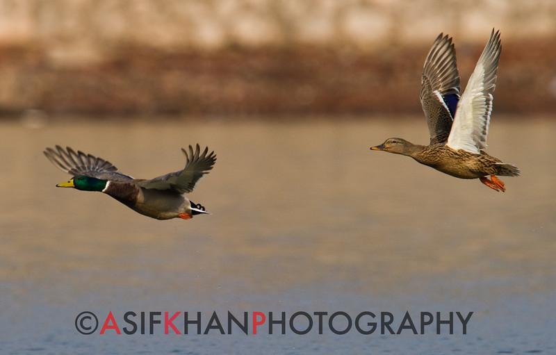 Pair of Mallard (Anas platyrhynchos) [绿头鸭 lǜ-tóu yā, 'green-headed duck'] in flight at Yuanyang Lake ( Datangwu Resorvior), Wuyuan, China.