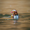Mandarin Duck (Aix galericulata) [鸳鸯 yuān-yang, 'yuan-yang'] at Yuanyang Lake ( Datangwu Resorvior), Wuyuan, China.