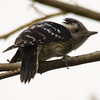 Grey-Capped Pygmy Woodpecker (Dendrocopos canicapillus) [星头啄木鸟 xīng-tóu zhuó-mù-niǎo, 'star-headed wood-pecking bird'] at Sheng Tai Yuan, Ruili, Yunnan, China
