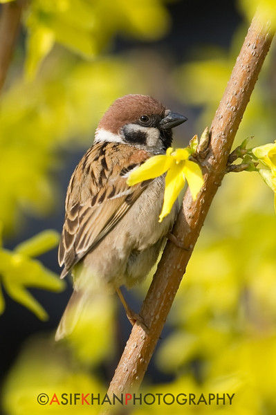 Eurasian Tree Sparrow (Passer montanus) [麻雀 má-què, 'sparrow'] at Beidaihe, Hebei, China