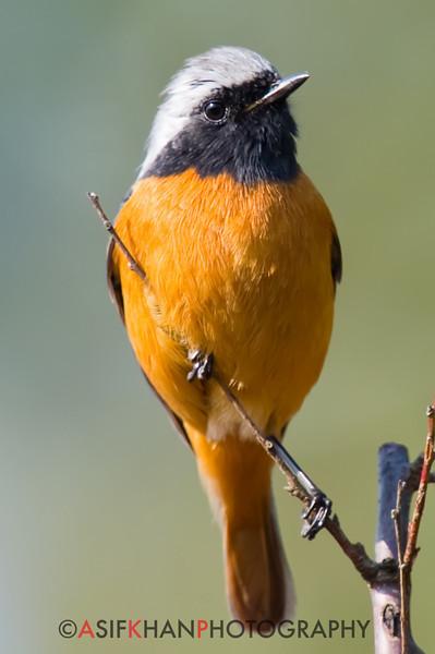 Daurian Redstart (Phoenicurus auroreus) [北红尾鸲 běi hóng-wěi-qú, 'northern red-tailed robin'] at Yuanyang Lake ( Datangwu Resorvior), Wuyuan, China.