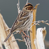 Little Bunting (Emberiza pusilla) [小鹀 xiǎo wú, 'small bunting] at Beidaihe, Hebei, China