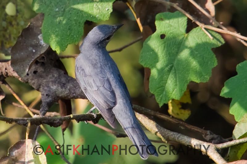 Black Winged Cuckoo-Shrike (Coracina melaschistos) [暗灰鹃䴗 àn-huī juān-jú, 'dark grey cuckoo shrike'] at Sheng Tai Yuan, Ruili, Yunnan, China