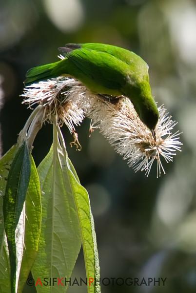 Orange Bellied Leafbird (Chloropsis hardwickii) [橙腹叶鹎 chéng-fù yè-bēi, 'orange-bellied leaf bulbul'] at Nanjingli Ridge, Ruili, Yunnan, China