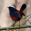 White-Capped Redstart (Chaimarrornis leucocephalus) [白顶溪鸲 bái-dǐng xī-qú, 'white-capped brook robin'] at Moli, Ruili, Yunnan, China
