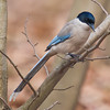 Azure Winged Magpie (Cyanopica cyanus) [灰喜鹊 huī xǐ-què, 'grey magpie'] at Gong Qing Forest Park, Shanghai, China.