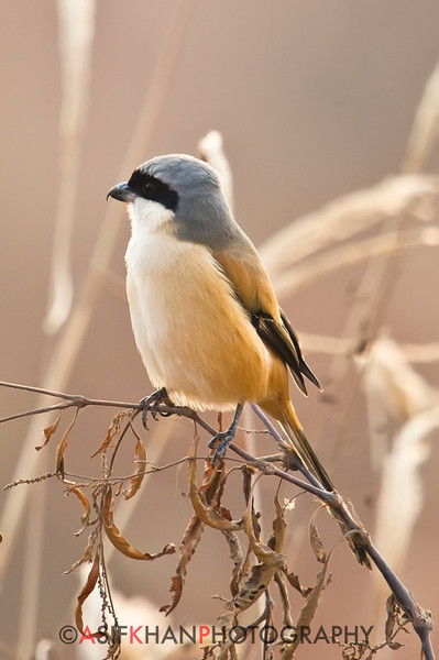 Long-tailed Shrike (Lanius schach) [棕背伯劳 zōng-bèi bóláo, 'reddish-brown-backed shrike'] at Poyang Wetland, Wucheng, Jiangxi, China.