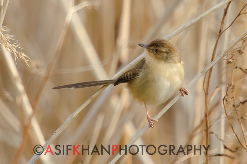 Plain Prinia (Prinia inornata) [纯色山鹪莺 chún-sè shān-jiāo-yīng, 'pure-coloured mountain wren-warbler'] at Nanhui, Shanghai, China.
