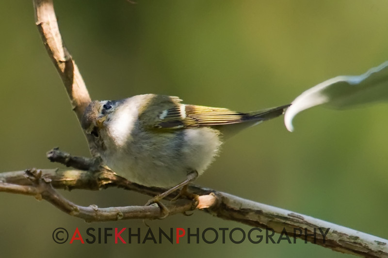 Yellow Browed Warbler (Phylloscopus inornatus) [黄眉柳莺 huáng-méi liǔ-yīng, 'yellow-browed willow warbler'] at Nanjingli Ridge, Ruili, Yunnan, China