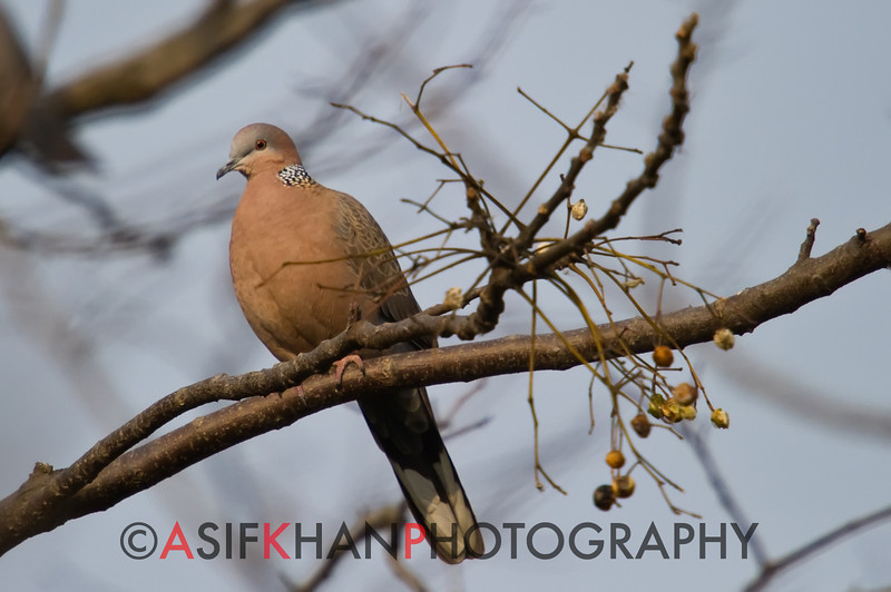 Spotted Dove (Streptopelia chinensis) [珠颈斑鸠 zhū-jǐng bān-jiū, 'bead-necked striped dove'] at Xinyanggang / Yancheng, Jiangsu, China