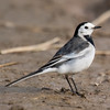 White Wagtail (Motacilla alba leucopsis) [白鹡鸰 bái jílíng, 'white wagtail'] at Chongming Island, Shanghai, China.