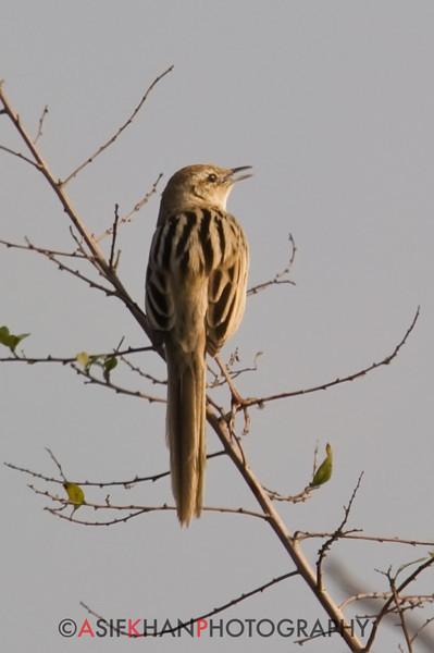 Striated Grassbird (Megalurus palustris) [沼泽大尾莺 zhǎo-zé dà-wěi-yīng, 'swamp large tailed warbler'] at Sheng Tai Yuan, Ruili, Yunnan, China