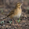 Richard's Pipit (Anthus richardi) [田鹨 tián liù, 'field pipit] at Beidaihe, Hebei, China
