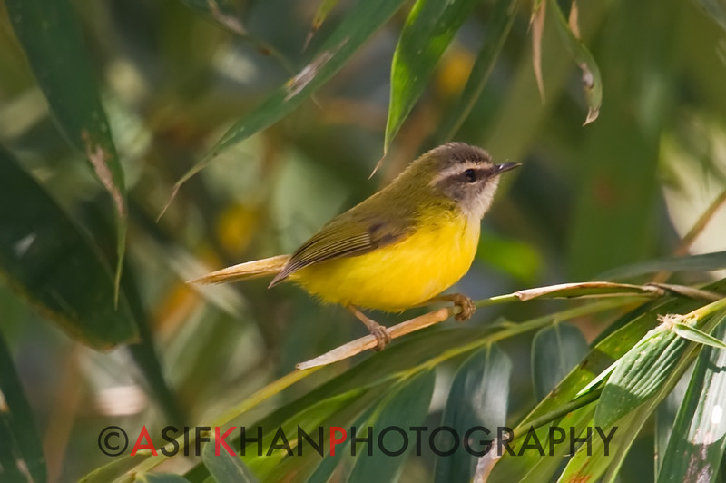 Yellow-Bellied Warbler (Abroscopus superciliaris) [黄腹鹟莺 huáng-fù wēng-yīng, 'yellow-bellied flycatcher warbler'] at Nanjingli Ridge, Ruili, Yunnan, China