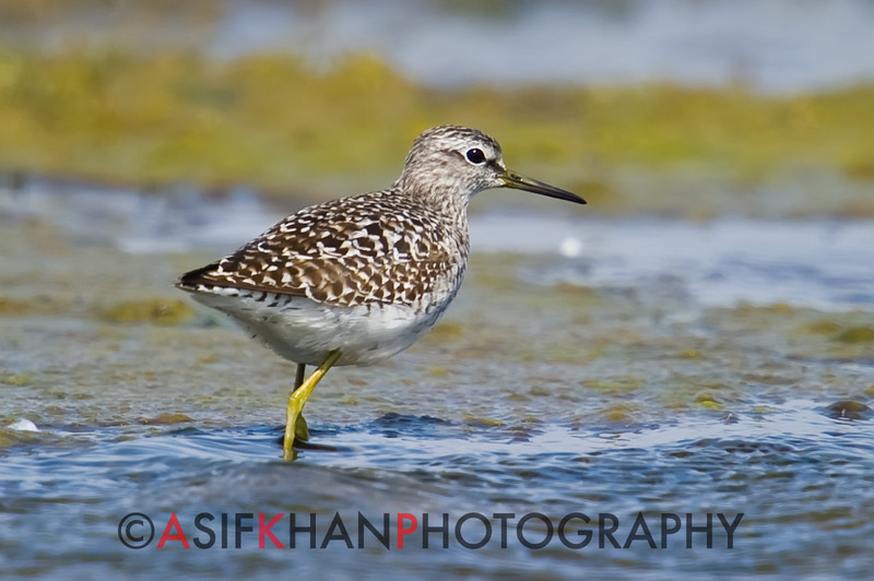 Wood Sandpiper (Tringa glareola) [林鹬 lín yù, 'forest yu'] at San Jia Gang, Shanghai, China