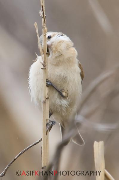 Chinese Penduline Tit (Remiz pendulinus consobrinus) [攀雀 pān-què, 'climbing finch'] at San Jia Gang, Shanghai, China