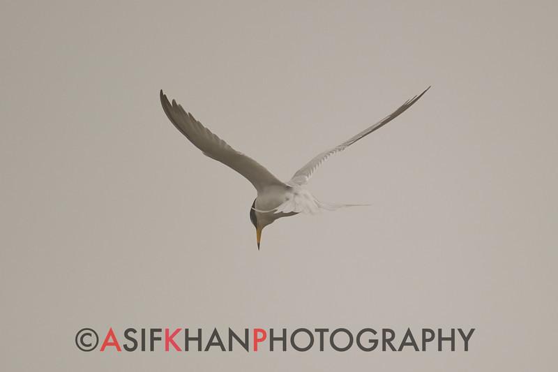 Little Tern (Sternula albifrons) [白额燕鸥 bái-é yàn-ōu, 'white forehead swallow-gull'] near Happy Island, Hebei, China