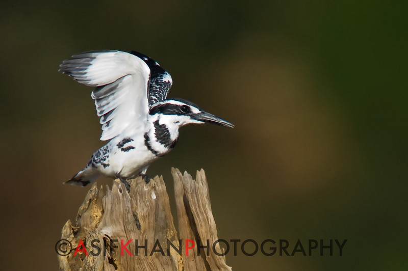 Pied Kingfisher (Ceryle rudis) [斑鱼狗 bān yú-gǒu, 'striped/spotted fish dog'] at Yuanyang Lake ( Datangwu Resorvior), Wuyuan, China.
