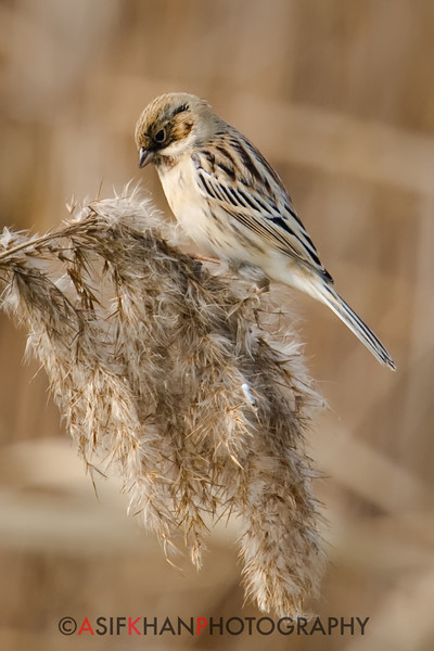Palla's Reed Bunting (Emberiza pallasi) [苇鹀 wěi wú, 'reed bunting'] at Nanhui, Shanghai, China