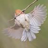 Vinous Throated Parrotbill (Paradoxornis webbianus) [棕头鸦雀 zōng-tóu yā-què, 'reddish-brown headed crow finch'] at Gong Qing Forest Park, Shanghai, China.
