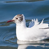 Black-Headed Gull (Larus ridibundis) [红嘴鸥 hóng-zuǐ ōu, 'red-billed gull'] at Xishan, Kunming, Yunnan, China