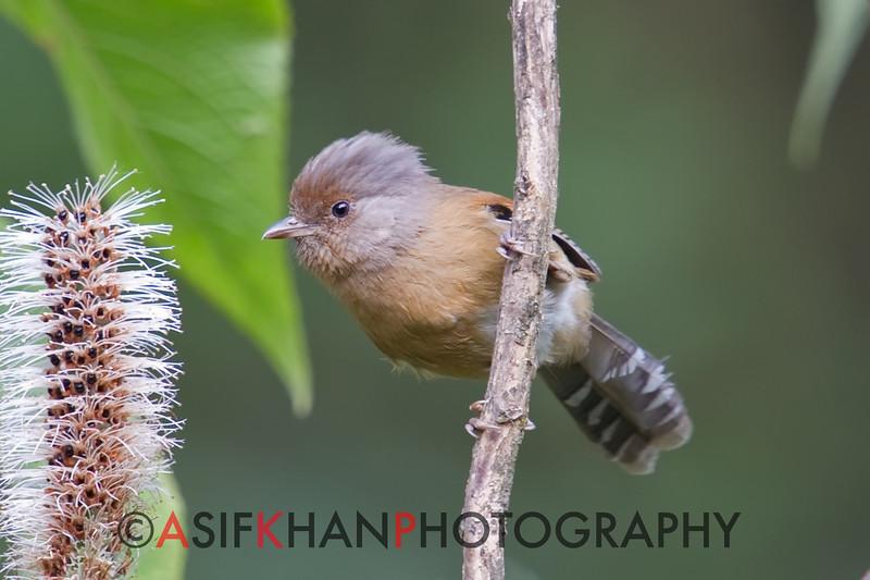 Rusty-Fronted Barwing (Actinodura egertoni) [锈额斑翅鹛 xiù-é bān-chì-méi, 'rusty-browed streaked-wing babbler'] at Nanjingli Ridge, Ruili, Yunnan, China