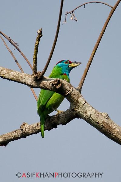 Blue-Throated Barbet (Megalaima asiatica) [蓝喉拟啄木鸟 lán-hóu nǐ-zhuómù-niǎo,'blue-throated pseudo wood-pecking bird']at Nanjingli Ridge, Ruili, Yunnan, China
