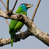Blue-Throated Barbet (Megalaima asiatica) [蓝喉拟啄木鸟 lán-hóu nǐ-zhuómù-niǎo,'blue-throated pseudo wood-pecking bird']at Nanjingli Ridge, Ruili, Yunnan, China