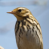 Olive Backed Pipit (Anthus hodgsoni) [树鹨 shù liù, 'tree pipit'] at Happy Island, Hebei, China