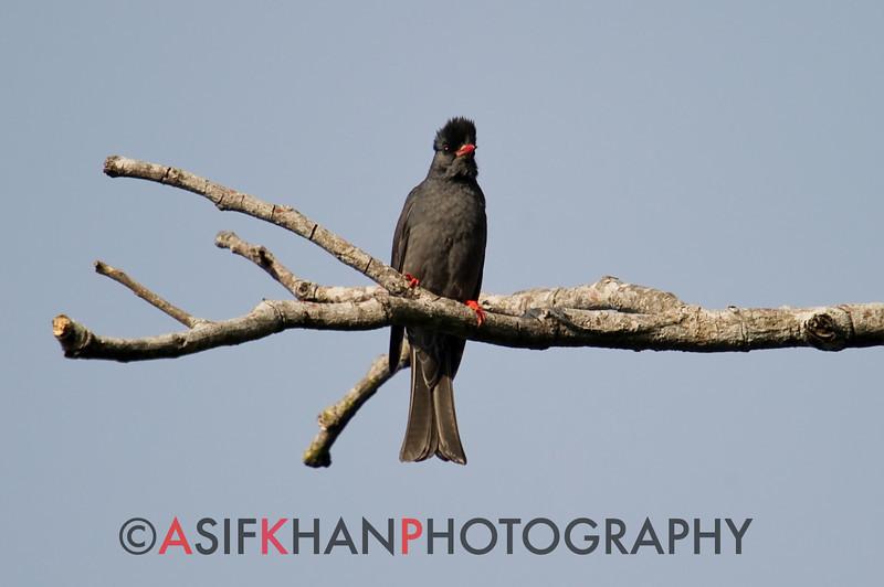 Black Bulbul (Hypsipetes leucocephalus) [黑短脚鹎 hēi duǎn-jiǎo-bēi, 'black short-legged bulbul] at Nanjingli Ridge, Ruili, Yunnan, China