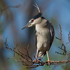 Black Crowned Night Heron (Nycticorax nycticorax) [夜鹭 yè lù, 'night heron'] near Happy Island, Hebei, China