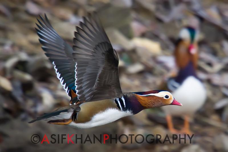 Mandarin Duck (Aix galericulata) [鸳鸯 yuān-yang, 'yuan-yang'] in flight at Yuanyang Lake ( Datangwu Resorvior), Wuyuan, China.