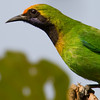 Gold-Fronted Leafbird (Chloropsis aurifrons) [金额叶鹎 jīn-é yè-bēi, 'golden-browed leaf bulbul'] at Sheng Tai Yuan, Ruili, Yunnan, China