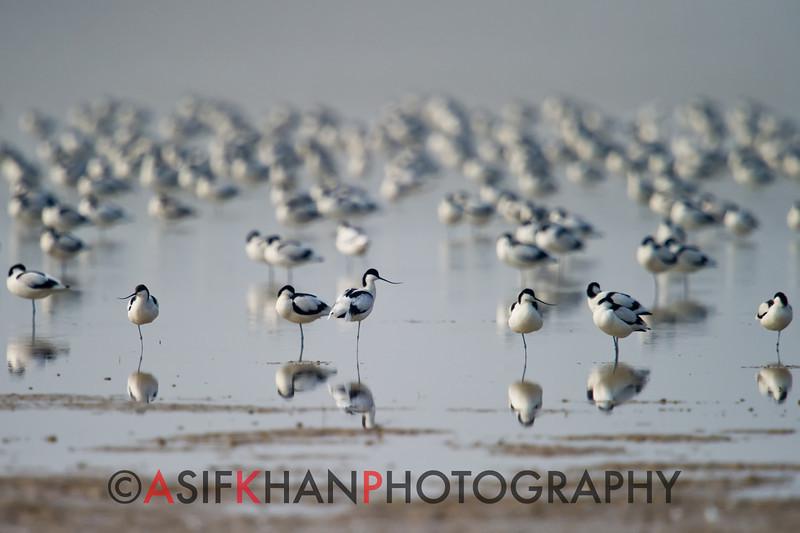 Flock of Pied Avocet (Recurvirostra avosetta) [反嘴鹬 fǎn-zuǐ-yù, 'curved-bill yu'] at Poyang Wetland, Wucheng, Jiangxi, China.